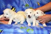 Продам недорого самоеда 7 щеняток