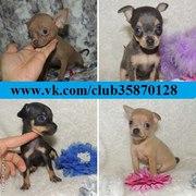 Тойчики продажа щеночков