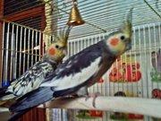 Попугаи Кореллы возраст 1 год.